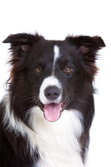 Beautiful bordercollie
