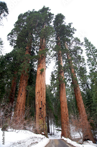 Giand sequoias