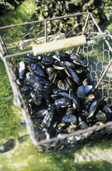 basket of mussels