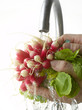 Rinsing radishes under the tap water
