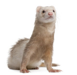 Ferret, 4 years old, in front of white background poster