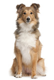 Shetland Sheepdog, 9 months old, sitting poster