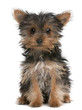 Yorkshire Terrier puppy, 3 months old, sitting