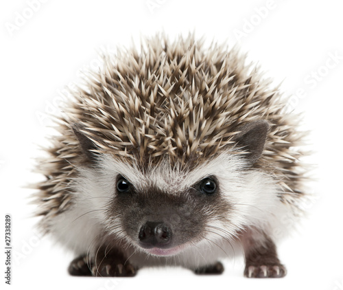 Four-toed Hedgehog, Atelerix albiventris, 3 weeks old