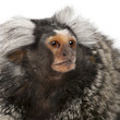 Common Marmoset, Callithrix jacchus, 2 years old