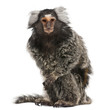 Common Marmoset, Callithrix jacchus, 2 years old, sitting