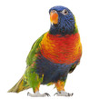 Rainbow Lorikeet, Trichoglossus haematodus, 3 years old