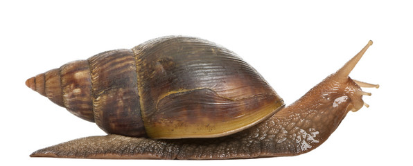 Giant African land snail, Achatina fulica, 5 months old