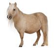 Palomino Shetland pony, Equus caballus, 3 years old, standing