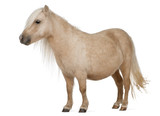 Palomino Shetland pony, Equus caballus, 3 years old, standing poster