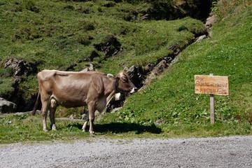 Kuh auf dem Weg zur Alm