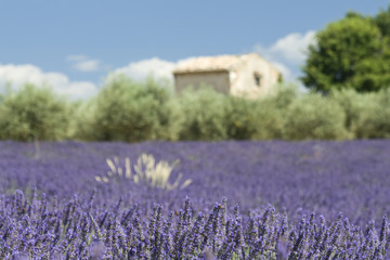 Lavender field with barnhouse and tree. Provence France
