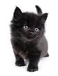 Black little kitten walking, white background
