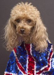 Poodle with UK Pride