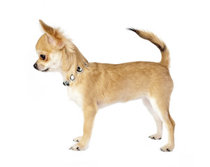 nice chihuahua puppy with necklace side view