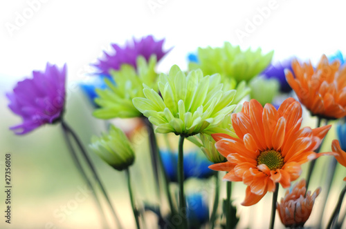 Multicolored Daisy Flowers