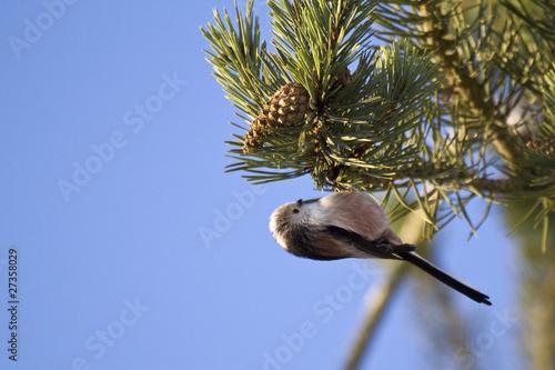 Mésange à longue queue - Aegithelos caudatus - Longtailed Tit
