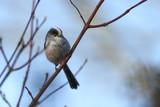 Mésange à longue queue - Aegithelos caudatus - Long-tailed Tit