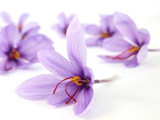 Close up of beautiful blue Saffron Crocus flowers