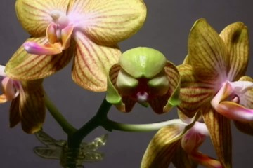 Phalaenopsis Orchid Time Lapse
