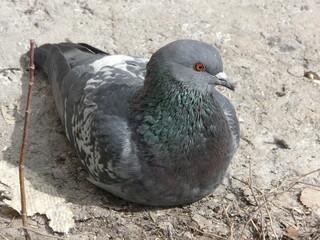 голубь pigeon dove