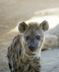 Young Hyena looking at the camera