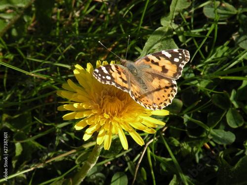 Papillon sur Pissenlit 01