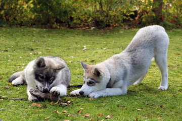 sibirian husky welpen