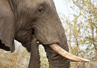 Elephand eating thorn bush and chew branch