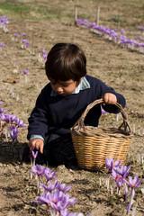 bambino che raccoglie zafferano