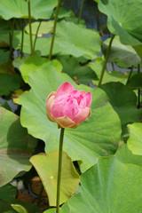 Fleur de lotus sur un point d'eau au Jardin de Pamplemousses