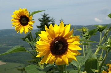 Sunflowers on a background of the sky and mountain valleys