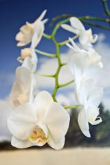 Orchidee Hawaii
