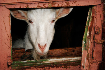 Nanny-goat looking from stall window