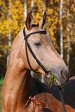 purebred arabian racehorse poster