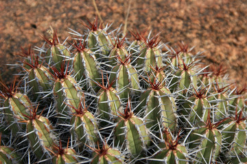 Kaktus im Antiatlas - Marokko