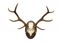 antlers of a huge stag, mounted on a wooden plate