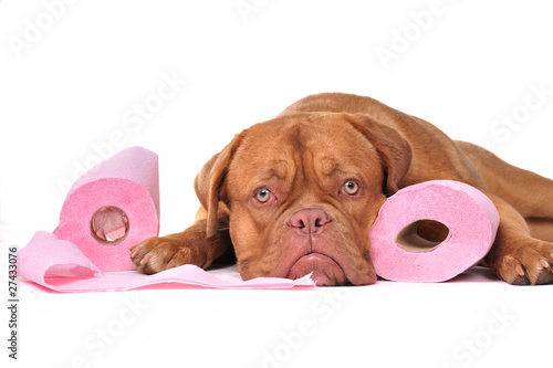 Puppy with two rolls of toilet paper