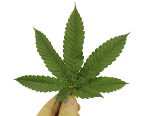 Marijuana(Cannabis) leaf