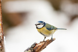 Blue Tit on Rotten Branch with Winter Snow Background poster