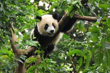 Giant panda climbing tree