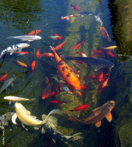 Carpes ko dans l 39 eau du petit bassin de maurice metzger for Tarif carpe koi