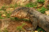 portrait of a banded monitor lizard (varanus salvator). poster