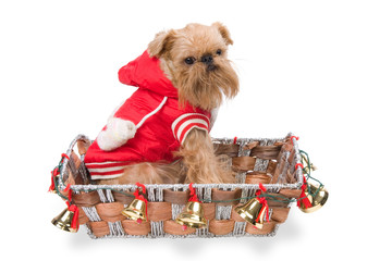 The doggie Griffon Bruxellois in a New Year's basket