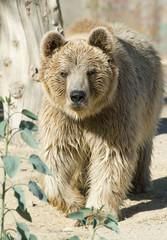 Brown Bear Walking towards the Camera