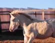 portrait of a little cremello schetlend pony