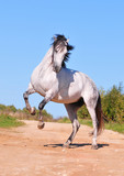 great andalusian white horse rearing