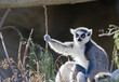 Ring Tailed Lemur sitting in a tree sunbathing