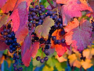 Rebstock, Wein, Weintrauben, Weinblätter, Abendlicht