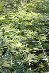 Marijuana plants, sea of green